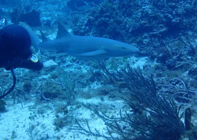Requin Nourrice à Cozumel